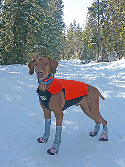 Vizsla Remus models his neoprene hunting vest and boots (complete with vet wrap/duct tape)
