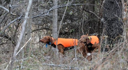 Vizslas model neoprene hunting vests