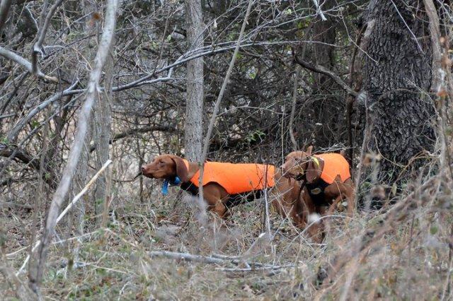 Vizslas model neoprene hunting vests
