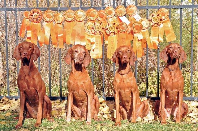 """Boulder Vizslas and Fusion Vizslas """"Champion (CH) Master Hunters (MH)"""" - Amante, Kosmo, Trip, and Suede"""