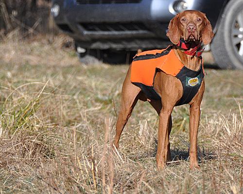 Vizsla Kosmo wearing his neoprene hunting vest