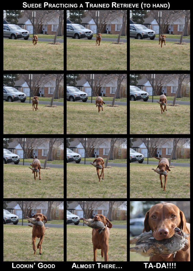 Getting ready for AKC Master level hunting tests.  Vizsla Suede practicing her trained retrieve.