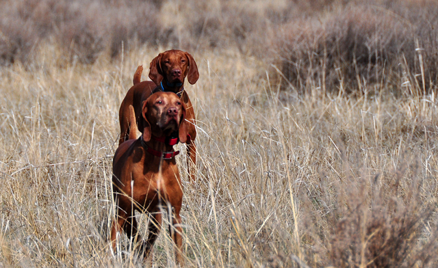 """Pointing dog (Vizsla) is """"Kosmo""""/CH Derby's Read Em And Weep MH.  Honoring dog (Vizsla) is """"Amante""""/CH Boulder's Bolder Amante MH."""