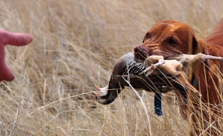"Vizsla Kosmo Demonstrates a Perfect ""Retrieve to Hand"""