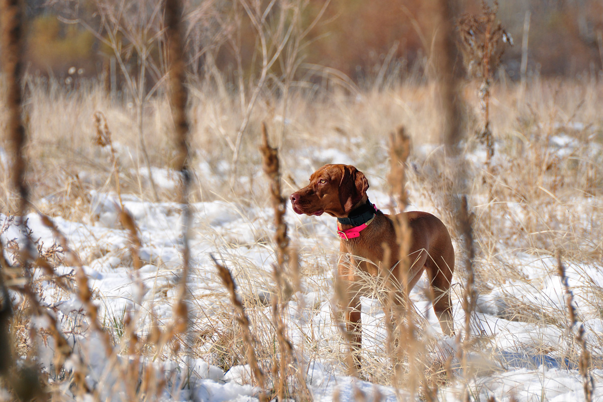 Pheasant Hunting with Vizslas in Colorado | Fusion Vizslas' Blog