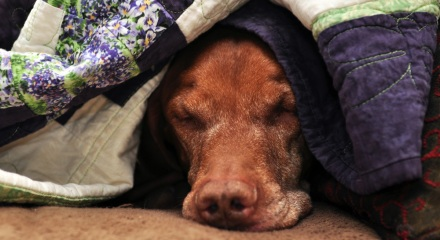 9 Year Old Vizsla Kosmo After The Hunt - December 2011