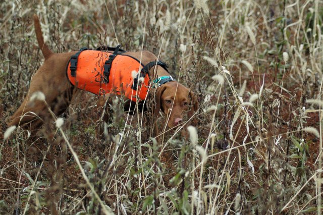 Trip (Ch Boulder's N Fusion's Power Trip MH) as a puppy holding point on a covey of wild quail.