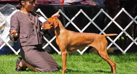 """CH Boulder's N Fusion's Heartbreaker CGC - """"Crush"""" - Finishing her AKC Conformation Championship title"""