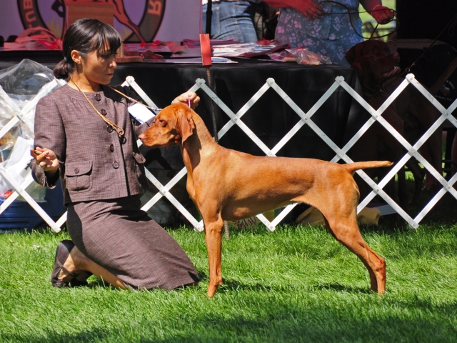 "CH Boulder's N Fusion's Heartbreaker CGC - ""Crush"" - Finishing her AKC Conformation Championship title"