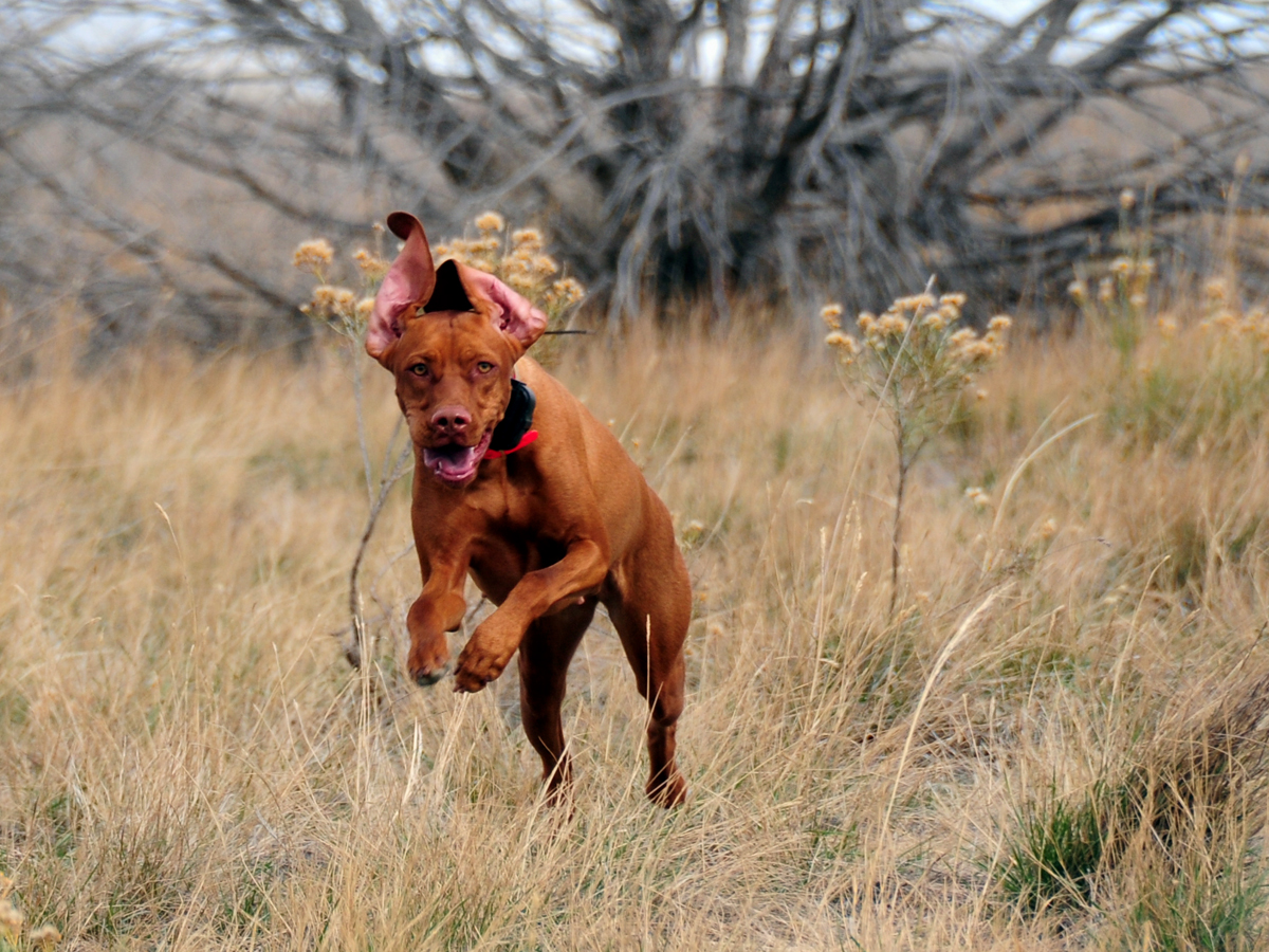 Its Your Job To Bring Out The Best In Your Vizsla Bird Dog